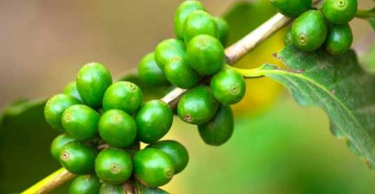 bean coffee extract-