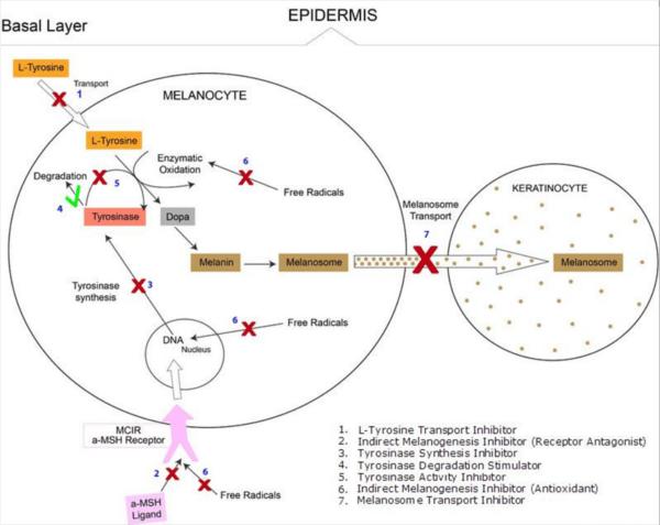 melasma-machnism-inhibition