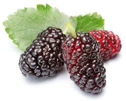 Mulberry herb