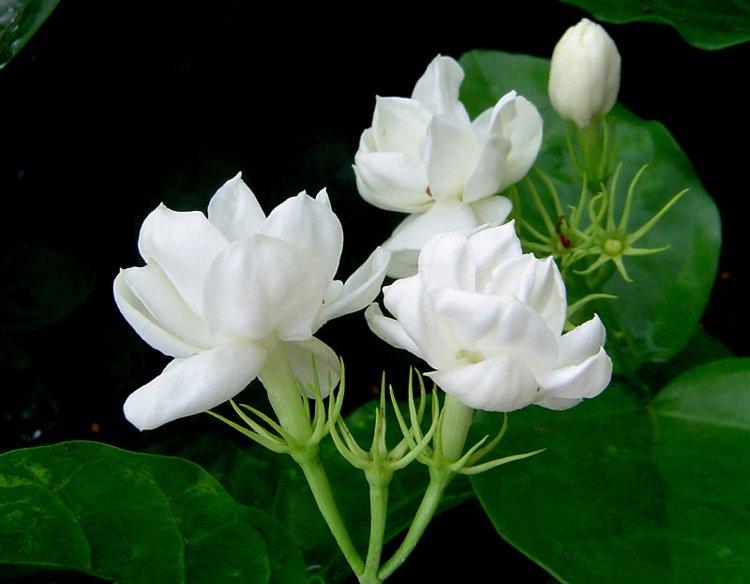 Jusmine ดอกมะลิ