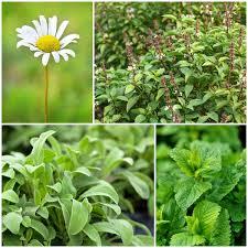 พืชสมุนไพรไทย Thai Herbs