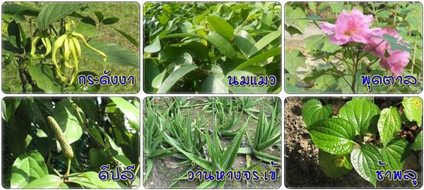 Thai Herbal สมุนไพรไทย (Apiban.com)