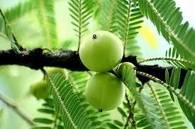 Thai Herb ลักษณะ ของพืชสมุนไพร