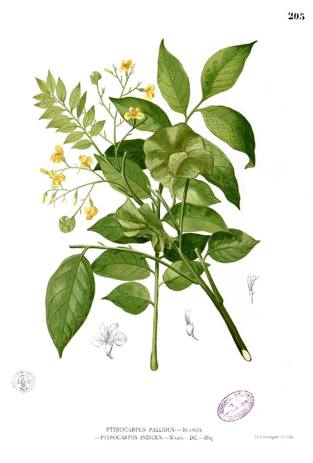 Pterocarpus_indicus_Blanco ไม้ประดู่