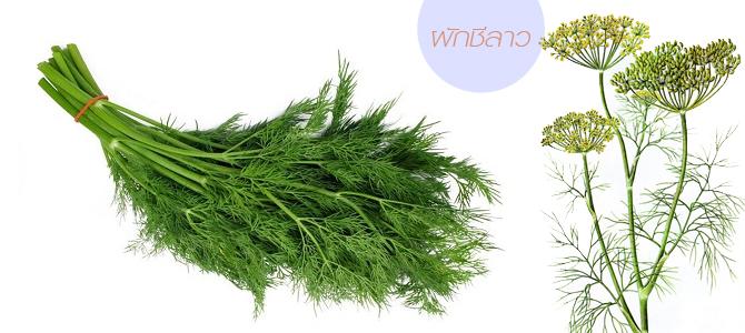 ต้นผักชีลาว