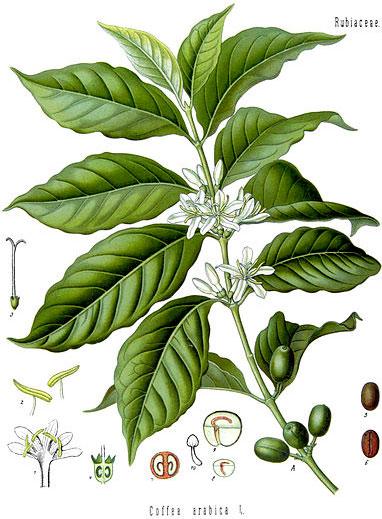 green-coffee-arabica