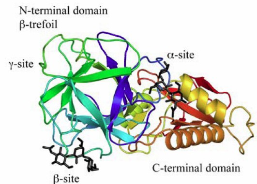 lectin structure