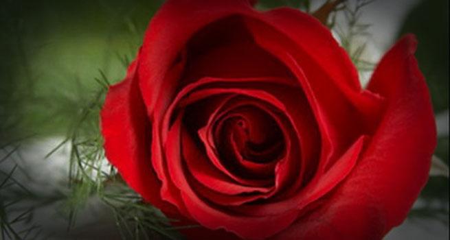 valentine's roses 1