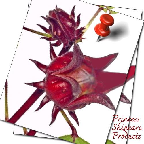 กระเจียบแดง พืชสมุนไพร 2