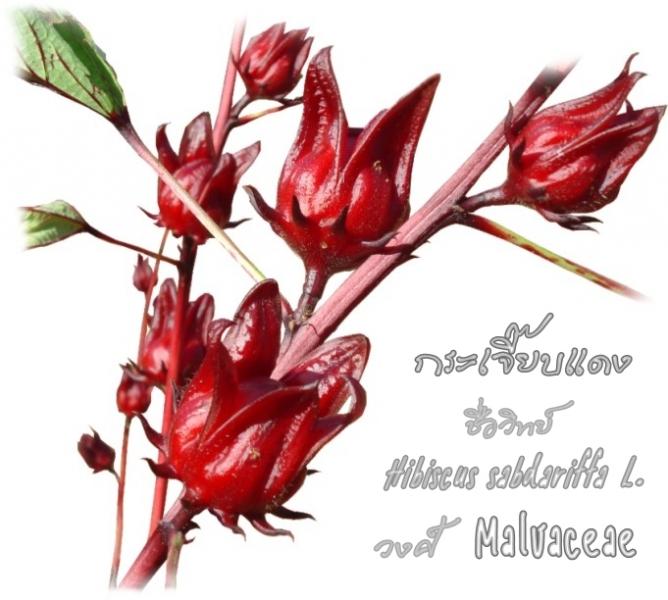 กระเจียบแดง พืชสมุนไพร
