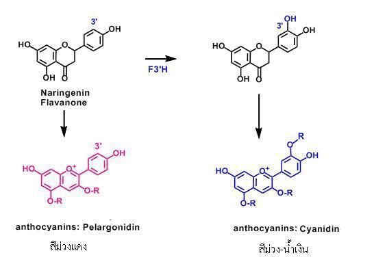 anthocyanin change โปรแอนโทไซยานิดิน