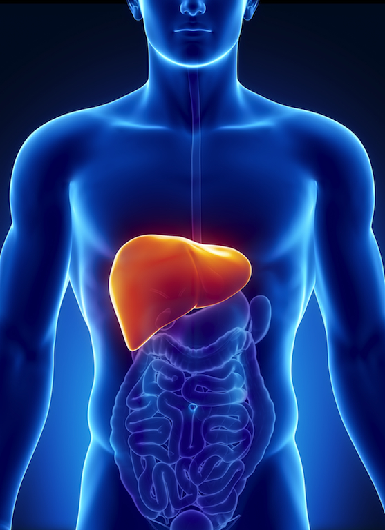 Male liver anatomy with digestive organs