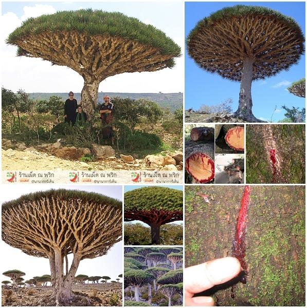 ต้นเลือดมังกร2