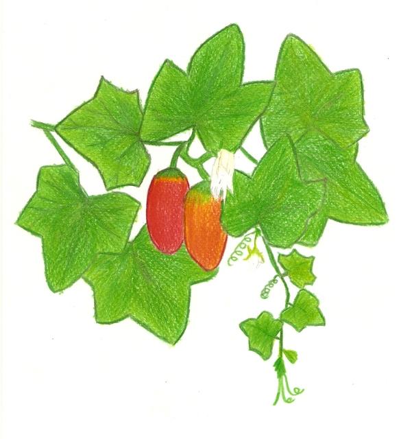 ประโยชน์และสรรพคุณของตำลึง สมุนไพรต้นเล็กๆ ที่อุดมไปด้วยวิตามินและแร่ธาตุหลายชนิด