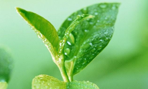 green-tea-soap