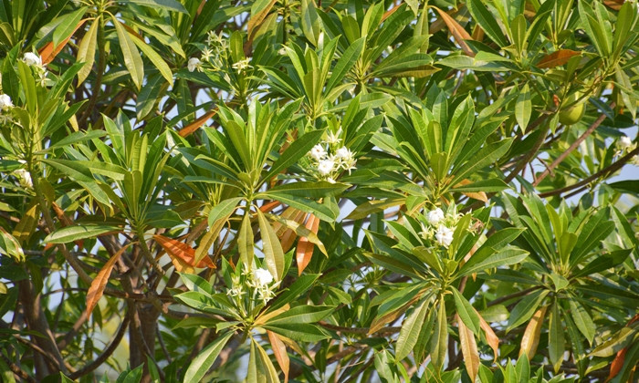 Cerbera odollam tree in garden
