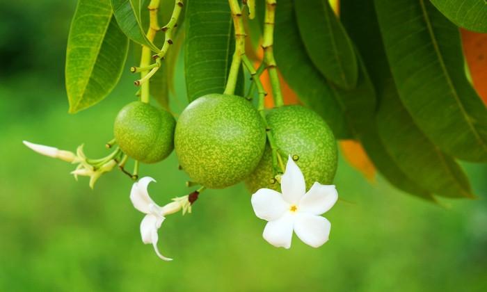 Suicide tree (Cerbera odollam)